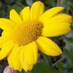 Chrysanthemum segetum