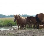 konie u wodopoju na Bani na pastwisku , Wyśmierzyce , dolina Pilicy
