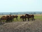 konie na pastwisku w okolicach Bani , Wyśmierzyce