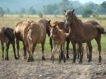 konie na pastwisku w okolicach Bani , Wyśmierzyce, dolina Pilicy