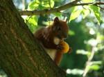 wiewiórka zajadąjaca morelkę