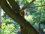 wiewiórka z morelką